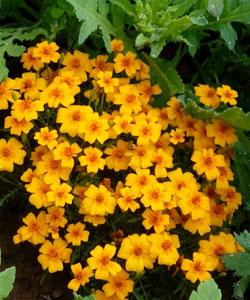 Asteraceae-(2)