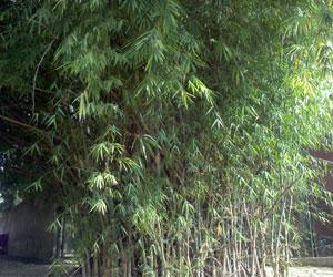 Bambusa-sp-(2)