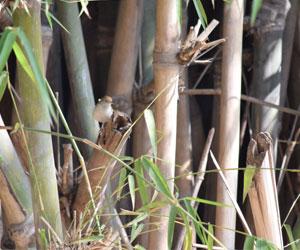 Bambusa-sp