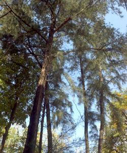 Casuarina-Tree