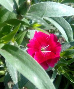 Dianthus-sp