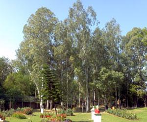 Eucalyptus-Myrtaceae