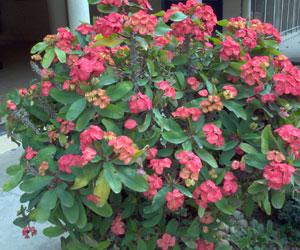 Euphorbia-milli-Euphorbiace