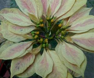 Euphorbia-pulchirrima