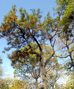 Grevillea-robusta-Proteacea