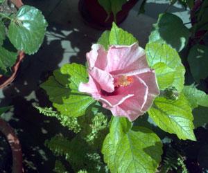 Hibiscus-sp