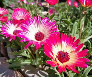 Mesumbryanthemum