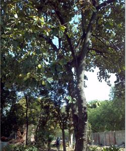 Pterospermum-acerifolium-,-