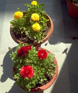 Ranunculus-sp