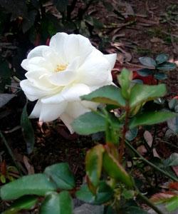 Rosa-Rosaceae-(3)