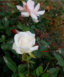 Rosa-sp-(2)