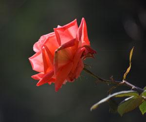 Rosa-sp