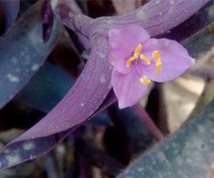 Tradescantia-pollen