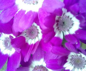 aster-asteraceae-purple-flo