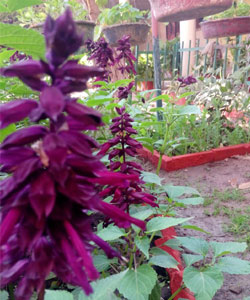 salvia-variety-with-purple-