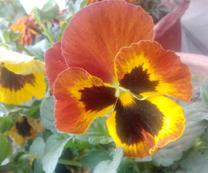 viola-tricolour-pansy